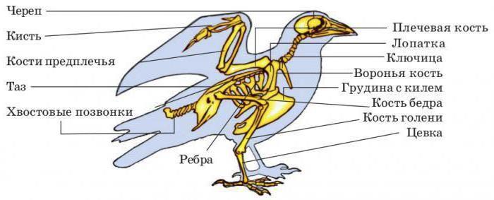 особенности внутреннего строения птиц