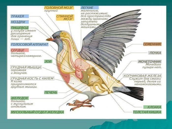 внутреннее строение птиц общая характеристика