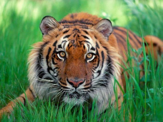 Anul Caracteristicii Tigrului