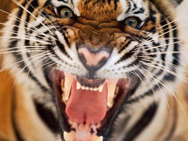 Născut în anul tigrului