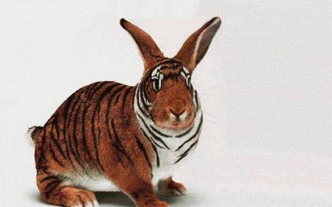 Anul Tigrului: Compatibilitate