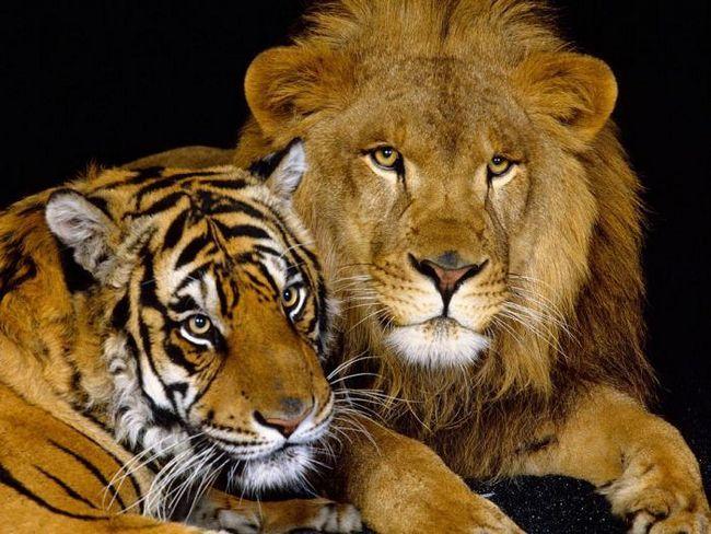 Tigrul Anului