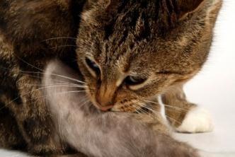 pisica își prăbușește părul în aglomerări