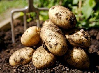 Scarf Caracteristicile cartofului