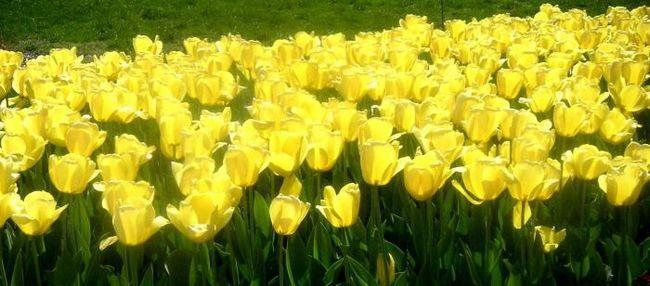 Lalelele galbene sunt simboluri ale fericirii