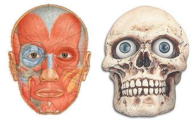 mușchii faciali ai anatomiei feței