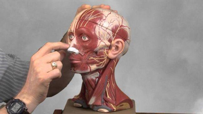 caracteristici ale mușchilor faciali