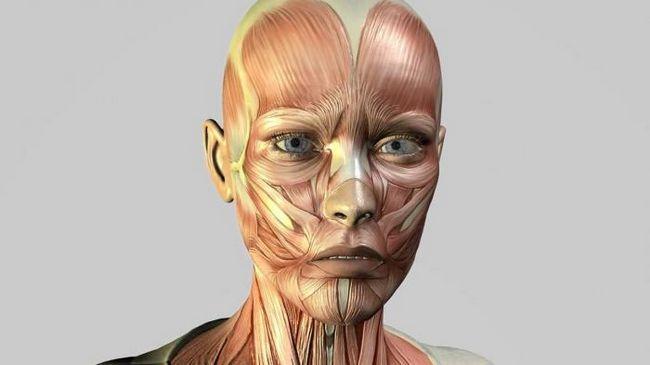Anatomia musculară