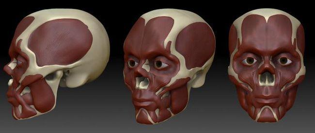 imita anatomia mușchilor