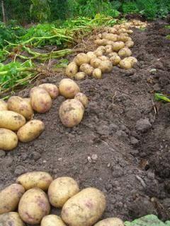 varietate de cartofi