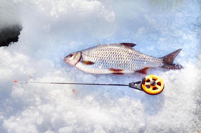 Câine de vânătoare de iarnă: trăsături, metode și recomandări