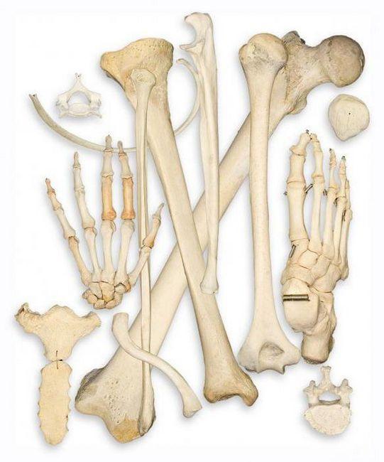 biologia scheletului